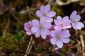 Hepatica nobilis rosa.JPG