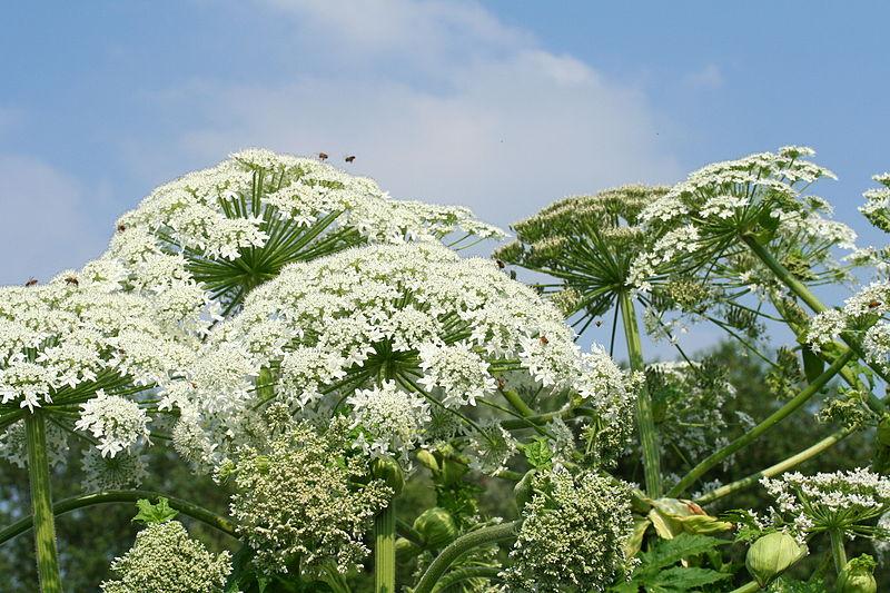 Ficheiro:Heracleum mantegazzianum (Meise) JPG1b.jpg