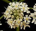 Heracleum sphondylium 10 ies.jpg
