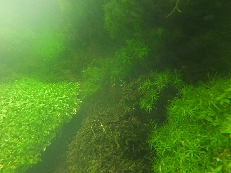 "Underwater view of part of a ""freshwater flora"" of Authie river (northern France). Here we see a species of Callitriche (Callitriche sp.), A few dozen centimeters deep, which covers the carpets and cushions of an immersed aquatic moss (Fontinal undetermined). Despite several periods of rains the water remained clear. This natural habitat is located in the Hauts-de-France region, about 1 km before the Abbey of Valloires And a hundred meters upstream of the mill of Argoule, in August 2017"