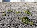 Herniaria glabra sl10.jpg