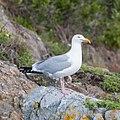 Herring Gull -59 100- (36809137532).jpg