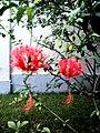 Hibiscus Crespo - panoramio.jpg