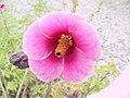Hibiscus cisplatinus 1.jpg