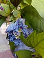 Hibiscus syriacus Lavender Chiffon 03.jpg