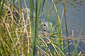 Hidden Menace Alligator Charlotte Harbor Environmental Center - panoramio.jpg