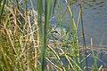 Hidden Menace Alligator Charlotte Harbor Environmental Center - panoramio.jpg