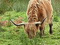 Highland-cattle-2.jpg