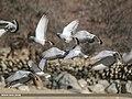 Hill Pigeon (Columba rupestris) (48332232641).jpg