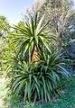 Hinewai Reserve - Cordyline indivisa, Banks Peninsula, New Zealand.jpg