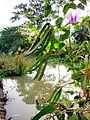 Hoa, trái và lá đậu ma.jpg