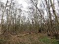 Holme Fen - thick birch woodland - April 2016 - panoramio.jpg
