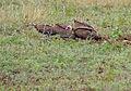 Hooded Vultures (Necrosyrtes monachus) (12033219086).jpg