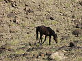 Horse feral in Fish River Canyon IMG 8496.JPG