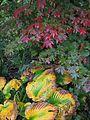 Hosta sieboldiana elegans ^ Acer japonicum vitifolium - Flickr - peganum.jpg