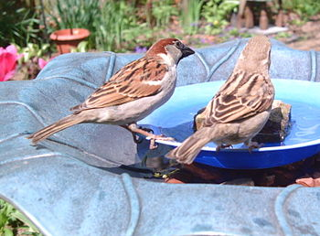 English: A pair of House Sparrows