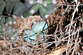 Huevos de Toxostoma curvirostre.jpg