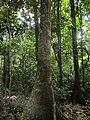 Hymenaea oblongifolia-azucar huayo.jpg