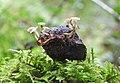 Hymenoscyphus fructigenus 26660847.jpg