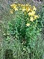 Hypericum perforatum 09.jpg