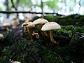 Hypholoma capnoides in the Spandauer Forst 05.jpg