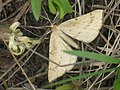 Hypoxystis pluviaria - Пяденица дроковая (27055157438).jpg