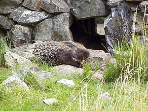 Indian crested porcupine - Indian crested porcupine on a rocky hillside