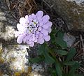 Iberis gibraltarica, Gibraltar Candytuft. - Flickr - gailhampshire.jpg