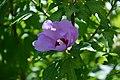 Ibisco (Hibiscus syriacus) (7920859498).jpg