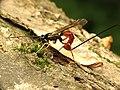 Ichneumon Wasp (34278543112).jpg