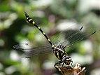 Ictinogomphus rapax at Kadavoor.jpg