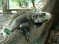 Iguana en FAGRO.JPG