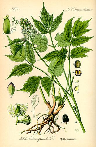 Actaea spicata - Image: Illustration Actaea spicata 0