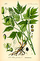Illustration Actaea spicata0.jpg