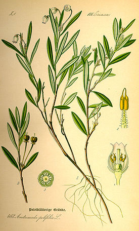 Illustration Andromeda polifolia0.jpg