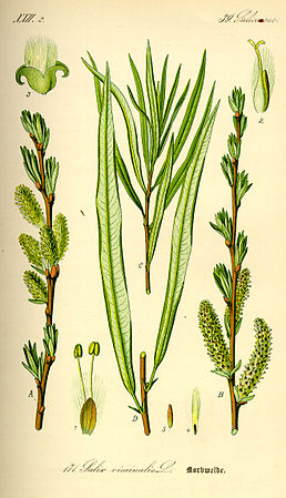 Illustration Salix viminalis0.jpg