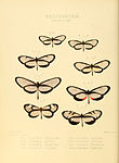 Illustrations of new species of exotic butterflies Ithomia XXXI.jpg