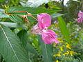 Impatiens glandulifera flower2.jpg