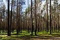 In the forest near Shhuchie lake, Komarovo.jpg