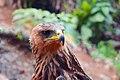 Indian Black Eagle On Frame.jpg