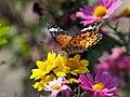 Indian Fritillary Butterfly ツマグロヒョウモン (235996149).jpeg