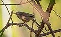 Indian Jungle Babbler.jpg