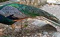 Indian Peafowl-4.jpg