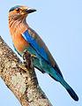 Indian Roller (Coracias benghalensis) Photograph By Shantanu Kuveskar.jpg
