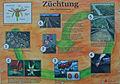 Infoschild Rosenzüchtung.jpg