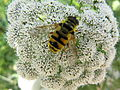 Insect on a white flower.jpg