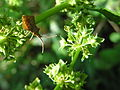 Insecto Bastavales Galicia 0.jpg