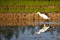 Intermediate Egret, Bangladesh bd.jpg
