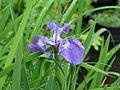 Iris hookeri (7267645538).jpg