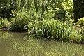 Iris pseudocarus.jpg